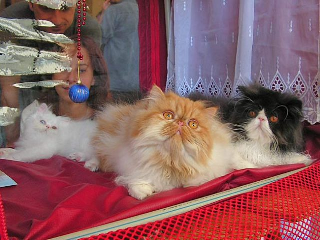 ІІ National cat carnival – review and cat show